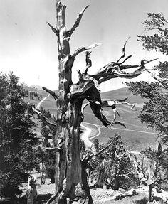 Rocky Mountain bristlecone pine, 2,435 rings