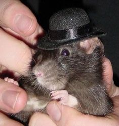Funny Rats, Cute Rats, Baby Animals, Funny Animals, Cute Animals, Rodents, Hamsters, Cute Mouse, Pet Costumes