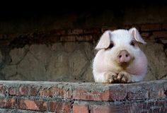 The Three Little Pigs - Animated Fairy Tales for Children Farm Animals, Animals And Pets, Cute Animals, Animal Pictures, Cute Pictures, Animals Beautiful, Beautiful Creatures, Cute Piglets, Mini Pigs