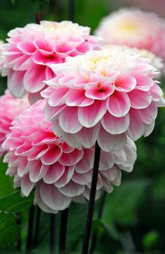 ~~Dahlia 'Wizard of Oz' | Soft pink, pompom-shaped flowers appear in profusion above lush green foliage from midsummer to the onset of the frosty weather, look exceptionall pretty in a vase | Crocus.co.uk~~