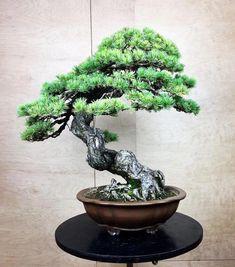 Bonsai Tree Price, Buy Bonsai Tree, Japanese Bonsai Tree, Bonsai Trees For Sale, Pine Bonsai, Bonsai Tree Care, Bonsai Tree Types, Indoor Bonsai Tree, Juniper Bonsai