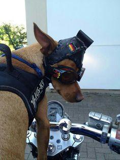 Sammy Chopper dog