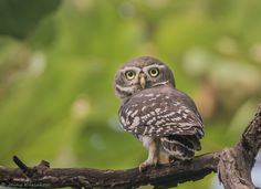 Forest Owlet | Forest Owlet..Native to the forests of central India.  Was rediscovered in 1997 after believed to be extinct.  Current population estimated as less than 250.  Critically endangered.