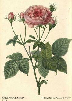 Pierre joseph redoute on pinterest 182 pins for Biblioteca digital real jardin botanico