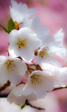 Třešňové květy z roku promo kód 2014