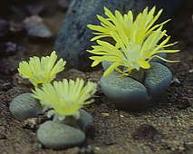 Lithops lesliei ssp. lesliei They look like rocks with flowers growing out of them~