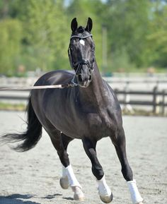 Diamond Stud. Warmblood stallion. Oldenburg