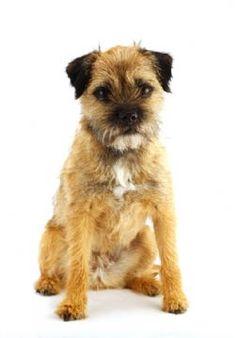 Cute border  terrier #dogs #animal #border #terrier