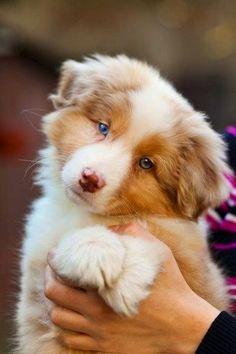 Top 5 smartest dog breeds