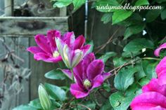 The Third Week Of May In The Backyard - 'Sunset' Clematis