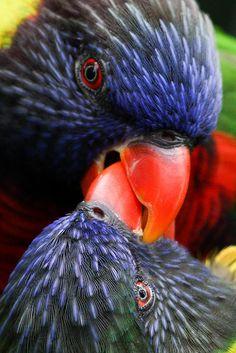 Beak Locked Loorakeets | Flickr - Photo Sharing!