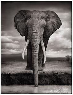 Elephant Drinking - Amboseli, Kenya  Nick Brandt photo