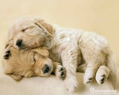 Connie and Jay (Golden Retriever) - Love bundles