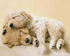 Connie and Jay (Golden Retriever) - Love bundles