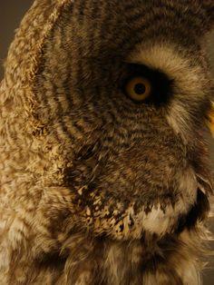 Strix Nebulosa, Copenhagen, Owl, Museum, Bird, Animals, Animales, Animaux, Owls