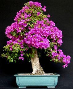I want to grow an azaleas bonsai, there are so many colors to choose from. Bonsai Empire web site has full instructions. Bonsai Art, Bonsai Plants, Bonsai Garden, Cacti Garden, Air Plants, Cactus Plants, Wisteria Bonsai, Flowering Bonsai Tree, Bonsai Trees