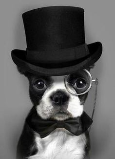 The Dapper Dog might need another model/mascott in our pack. Look at this adorable Boston!