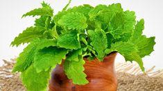 10 pravidel, jak správně pěstovat meduňkul ékařskou (Melissa officinalis). Nejlepší recepty s meduňkou. Jak a proč meduňka pomáhá zdraví. Parsley, Herbalism, Herbs, Homemade, Drinks, Cooking, Nature, Food, Gardening