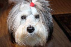 Tucker, Coton De Tulear #dog