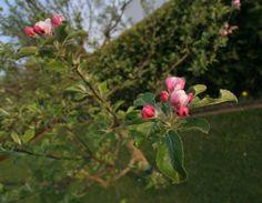 So blüht der Apfelbaum