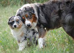 Elevage Du Mas De Sainte Esteve - eleveur de chiens Berger Australien
