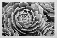 Original Floral Drawing by Dietrich Moravec Botanical Art, Clay Art, Pencil Drawings, Saatchi Art, Succulents, Artist, Artwork, Flowers, Plants