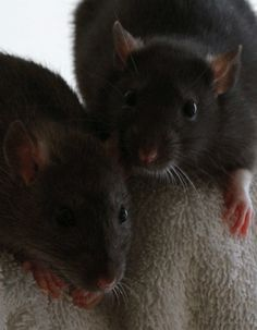 Rats in motion