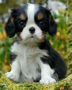 Cavalier King Charles Spaniel – Graceful and Affectionate King Charles Puppy, Cavalier King Charles Dog, King Charles Spaniel, Cute Puppies, Cute Dogs, Spaniel Puppies, Baby Dogs, Doggies, Cute Little Animals