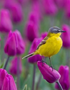 Yellow Wagtail by mschaeferfotografie: Yellow wagtail resting on purple tulip Found on ultraistanbule.tumblr.com