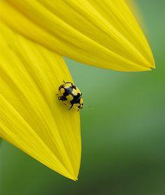 Yellow ladybug on yellow flower