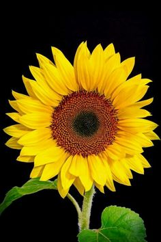 Super Tattoo Sunflower Plants Ideas - All About Planting Sunflowers, Sunflowers And Daisies, Yellow Flowers, Sun Flowers, Sunflower Pictures, Sunflower Art, Sunflower Garden, Happy Flowers, Beautiful Flowers