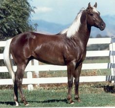 """Son Of A Cinnamon"" a yearling American Quarter Horse colt…"
