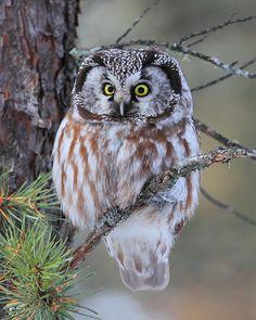 <b>Boreal</b> <b>Owl</b> nature& amazing creatures of the night ~ swift, silent . Beautiful Owl, Animals Beautiful, Cute Animals, Wild Animals, Beautiful Pictures, Gorgeous Eyes, Baby Animals, Owl Bird, Pet Birds