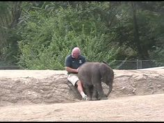 This baby wants to sit on her keepers lap.  See how she rearranges his legs.   Fillmed at the Pittsburgh zoo summer 2008