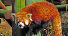 Cool and Fun Facts about the life, behavior and personality of Red Pandas      Good tree climbers     Most active during the day     Red Pandas are solitary animals     The Giant Panda is significantly larger than the Red Panda     The Red Panda differs from the Giant Panda in that it adds fruits to its diet     The Red Panda feeds more frequently on bamboo leaves as opposed to the stems and shoots eaten by the Giant Panda