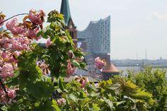Kirschblüten und Blick auf die Elbphilharmonie. Hamburg im Frühling. Gefunden auf dem Facebook Account von Mein Hamburg