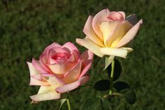 The Lady - Ludwigs Roses | She has won many awards in Europe & a Silver Medal in the rose trials in Durbanville. Long, slender buds. Medium sized blooms of an interesting blend of yellow & pink are produced in profusion. Tough foliage & a willingness to perform. The plant is very healthy.