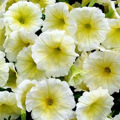 Petunia Frenzy Yellow (6 'Must Have' Plants)