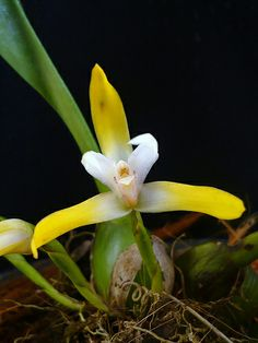 Maxillaria sp., by ❤ Mabe ❤ - via Flickr