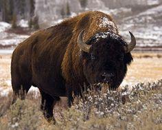http://www.beautiful-animals.com/wp-content/uploads/2012/02/Bison-1.jpg