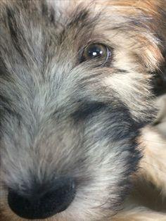 My Wheaten Terrier Olivia!