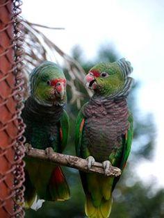 Vinaceous Amazon (Amazona vinacea)