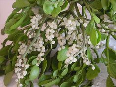 Since ancient times mistletoe has been regarded as one of the most sacred and yet mysterious plants in European folklore. Stories of its magickal powers can be found in ancient Scandinavian, Celtic, and Roman cultures. It was thought to bestow fertility, protect against poison, and heighten the sex drive.