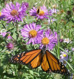 purple aster plants monarch | Biodiverse Gardens