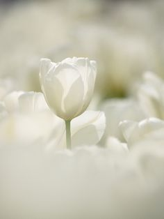 As an additional bonus, a number of the Fosteriana Tulips are fragrant. Place it into a suny window and in a couple of weeks you'll have Tulips blooming in the center of winter. White Tulips, White Flowers, Pastel Flowers, All White, Pure White, Deco Floral, Shades Of White, Plantation, Spring Flowers