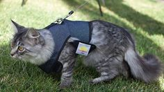 From selecting the right equipment to getting your cat comfortable in a harness, here's everything you need to know about walking your feline friend. Tap the link for an awesome selection cat and kitten products for your feline companion! Cats Bus, Cats And Kittens, Big House Cats, What Cats Can Eat, Adventure Cat, Clumping Cat Litter, Owning A Cat, Cat Behavior, Cat Life