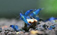 Blue Dream Rili Shrimp
