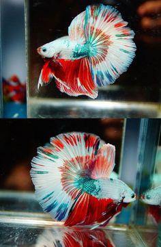Siamese Fighting Fish - Multi-Color Half-Moon male Betta Splendens