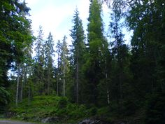norway spruce forest - Buscar con Google