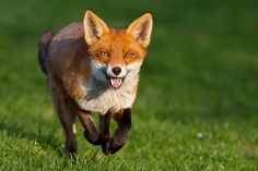 fox images animal | Fox Dreaming | The Other Side